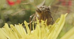 授粉-专辑宏观射击在花饮用的花蜜的一只蝴蝶 股票录像