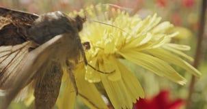 授粉-专辑宏观射击在花饮用的花蜜的一只蝴蝶 影视素材