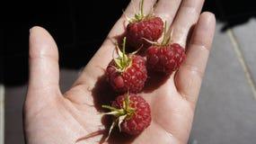 1 成熟莓在手上 库存图片