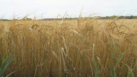 成熟麦子的金黄耳朵 股票视频