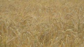 成熟麦子的金黄耳朵 影视素材
