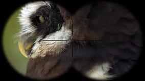 戴了眼镜猫头鹰Pulsatrix perspicillata通过被看见的双筒望远镜 进行下去的双筒望远镜 观鸟在野生生物 股票视频
