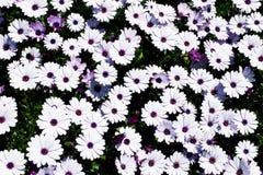 戴西花田非洲雏菊或Osteospermum ecklonis或者海角延命菊 顶视图/平的位置 免版税库存图片