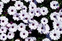 戴西花田非洲雏菊或Osteospermum ecklonis或者海角延命菊 顶视图/平的位置 库存图片