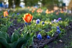 春天在平衡的太阳的花郁金香 免版税库存图片