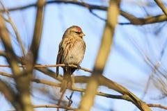 春天在分支的鸟红弱鸟 库存图片