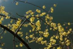 春天花黄色在河旁边的伯尔尼 免版税库存图片