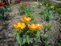 春天花郁金香和黄水仙在土壤的庭院里 库存照片