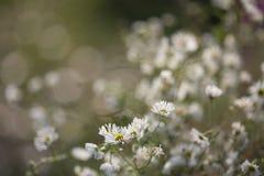 春黄菊花在晚秋天的庭院里 免版税图库摄影