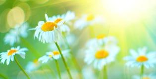 春黄菊领域开花边界 与开花的春黄菊的美好的自然场面在太阳飘动 免版税库存照片