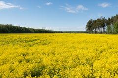 明亮的黄色花的巨大的领域 免版税库存图片