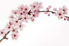 日本樱花分支有白色背景 图库摄影