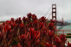 旧金山湾、花和著名金门大桥 库存照片