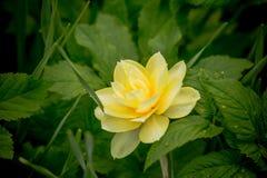 早期的春天黄色黄水仙 黄水仙开花 开花的黄色水仙花 下雨 浅深度  免版税库存照片