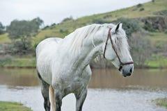 摆在入湖的白色纯净的西班牙公马画象  安大路西亚 西班牙 库存照片