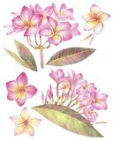 手画水彩例证 与羽毛花的花卉集合  热带异乎寻常的花 皇族释放例证
