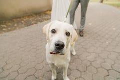 所有者和拉布拉多猎犬在城市尾随走 免版税库存照片