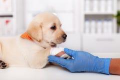 拉布拉多小狗在动物医疗保健专业手上的休息它的被包扎的爪子 免版税库存图片
