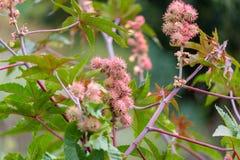 拉帕尔玛岛的蓖麻籽植物 免版税图库摄影
