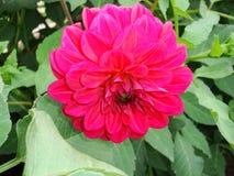 普通的花在庭院里在夏天 图库摄影