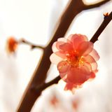 Plum blossoms like transparent gems royalty free stock images