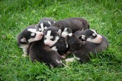 新出生的美丽的小狗 库存图片