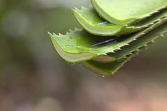 新近地被切开的芦荟维拉留给水滴一些芦荟胶凝体 库存照片