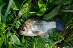 新鲜被捉住的鱼 库存照片