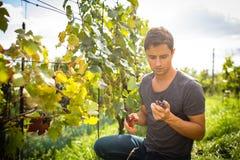 收获藤葡萄的英俊的年轻葡萄酒商人在他的葡萄园里 库存图片