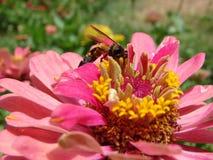收集花的花蜜蜂蜜蜂 库存照片