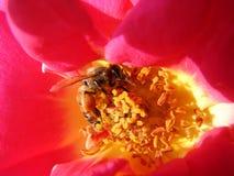 收集花的花蜜蜂蜜蜂 库存图片