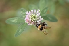 收集花蜜的土蜂 免版税库存照片