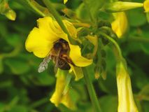 收集花花粉的蜂 免版税库存图片