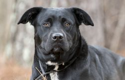 放下外面在杉木针的黑实验室混合狗 免版税库存图片