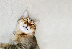 放置在地面户外和镇静地观看入照相机的一只逗人喜爱的滑稽的成人猫 库存照片