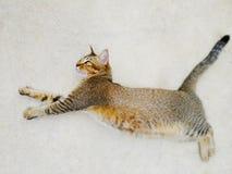 放置在地面户外和镇静地观看入照相机的一只逗人喜爱的滑稽的成人猫 免版税库存照片