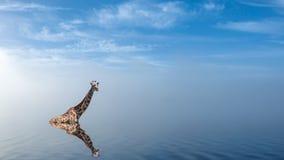 洗浴的长颈鹿在有平安的雾的湖 免版税库存照片