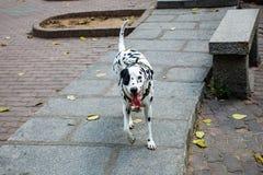 斑点狗 Dalmatians. 斑点 狗狗 、野外 、斑点狗、 开心 white hair, run stock image