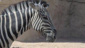 斑马在动物园里 股票视频
