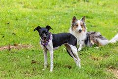灰色和白色博德牧羊犬和使用在绿草的braziliam狗 免版税库存照片