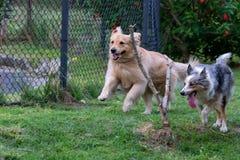 灰色和白色跑在绿草的博德牧羊犬和金黄Retrievar 库存照片