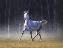 灰色阿拉伯马在冷淡的秋天上午任意跑 免版税图库摄影