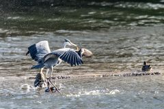 灰质灰色苍鹭的Ardea做飞溅和进入土地 免版税库存照片