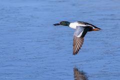 琵嘴鸭飞行的德雷克上面和冰在湖 库存照片