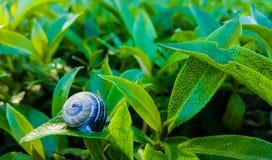 睡觉在叶子的蜗牛 免版税库存照片