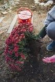 种植菊花的女孩 免版税库存图片
