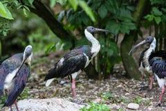 秸杆收缩的朱鹭,朱鹭类spinicollis在动物园里 免版税库存图片