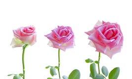 空白背景桃红色的玫瑰 上色配色计算机花被生成的和谐顶头图象 库存图片