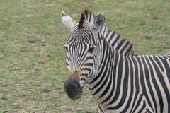 站立在原野的幼小斑马 免版税库存图片