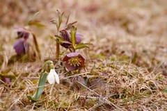 第一朵花是snowdrop和紫色黑黎芦在森林沼地 唤醒本质 库存照片